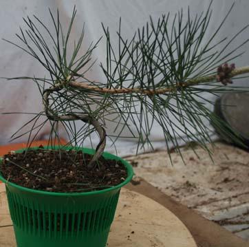 la culture et la formation des pins en bonsa. Black Bedroom Furniture Sets. Home Design Ideas